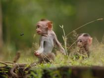 Amazing Sony F65 Footage From Disneynature's Monkey Kingdom: