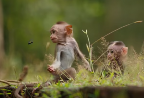 Amazing Sony F65 Footage From Disneynature's Monkey Kingdom: